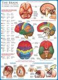 The Brain :: Eurographics