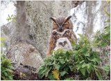 Great Horned Owl :: Cobble Hill