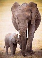 Eurographics 1000 - Elephant & Baby