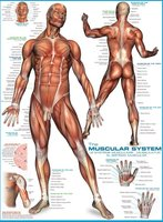 Eurographics 1000 - The Muscular System
