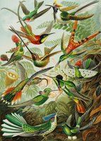Piatnik 1000 - Ernst Haeckel: Hummingbirds
