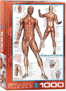 The Muscular System :: Eurographics