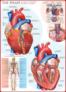 The Heart :: Eurographics