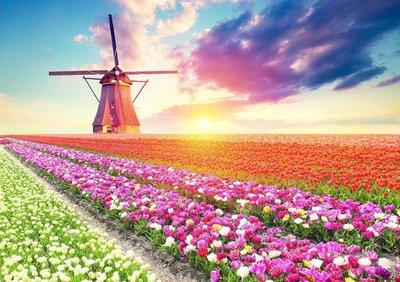 Tulips Landscape :: Educa